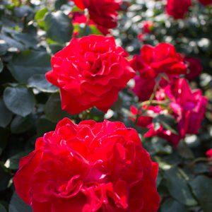 見渡す限りのバラを満喫!【神代植物公園】