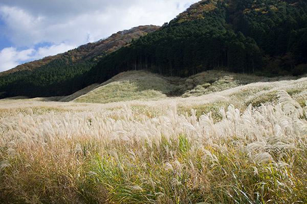 【秋の箱根旅1】仙石原の黄金のススキと秋の箱根を楽しむ