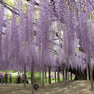 見事な大藤が咲き誇る季節!足利フラワーパーク
