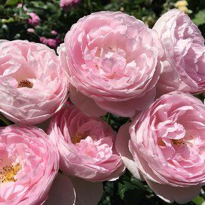 海の見える丘から、バラの香り漂う風景美を楽しむ【アカオハーブ&ローズガーデン】