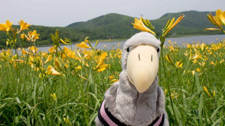 生息株数日本一!果てない黄色の絨毯、雄国沼のニッコウキスゲと、白虎隊を巡る