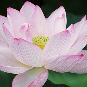 東京の人間がベタすぎる東京半日観光!上野不忍池を埋め尽くす蓮の花と、辯天堂での衝撃の結果