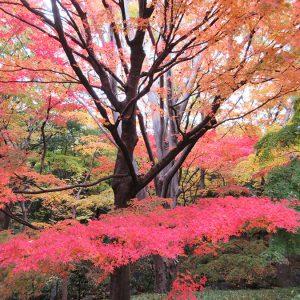 皇居周辺の紅葉と、行列のできる赤坂の天丼