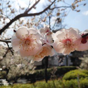 春を探して~羽根木公園の650本の梅の花と、可愛い小鳥たち