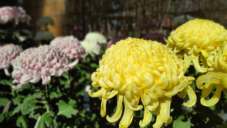 身体を治してくれる川越大師と、目に美しい菊まつり+中目黒正覚寺の開山400年祭