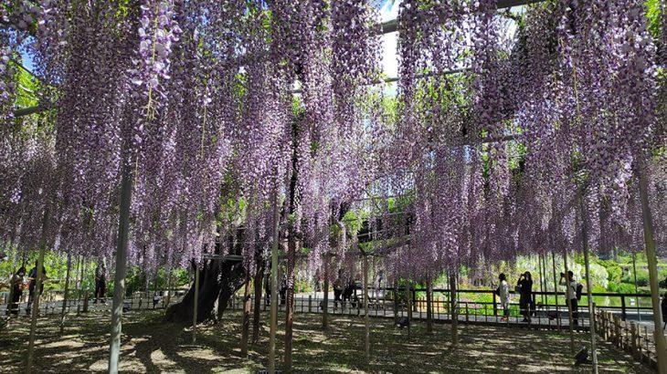 藤の花だけじゃない、春爛漫のあしかがフラワーパーク